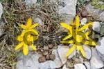 Thumbnail Sternbergia colchiciflora, Crete, Greece