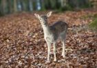 Thumbnail Fallow Deer (Dama dama), female