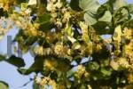 Thumbnail Branch of a winter lime Tilia cordata