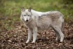 Thumbnail Eastern wolf or Eastern Canadian Wolf (Canis lupus lycaon)