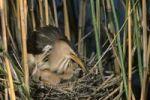 Thumbnail Little bittern (Ixobrychus minutus), female sitting on the nest with fledglings, Hortobagy National Park, Hungary, Europe