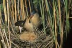 Thumbnail Little bittern (Ixobrychus minutus), male feeding fledglings in the nest, Hortobagy National Park, Hungary, Europe