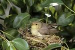 Thumbnail Icterine warbler (Hippolais icterina), adult bird sitting on the nest, gathering its young under its wings