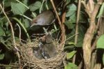 Thumbnail Blackcap (Sylvia atricapilla), female sitting on the nest with fledglings