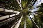 Thumbnail Bamboo subspecies (Chusquea culeou), Los Alerces National Park, Patagonia, Argentina, South America