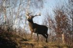 Thumbnail Red deer (Cervus elaphus) in autumn, Bavaria, Bavaria, Germany, Europe