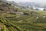 Thumbnail Vineyards and hiking trails on Loibenberg in front of Pfaffenberg and the Danube River, Wachau, Waldviertel, Forest Quarter, Lower Austria, Austria, Europe