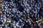 Thumbnail grape harvest in Stuttgart, Baden-Wuerttemberg, Germany