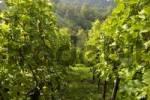 Thumbnail grape-vine