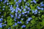 Thumbnail blue eyed mary Omphalodes verna