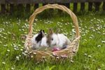 Thumbnail Young Rabbits (Oryctolagus cuniculus forma domestica) in an Easter basket on a flowery meadow