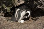 Thumbnail Magellanic Penguin (Spheniscus magellanicus) standing next to egg in nest, Punta Tombo, Argentina, South America