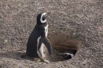 Thumbnail Magellanic Penguin (Spheniscus magellanicus), pair at nest, Punta Tombo, Argentina, South America