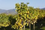Thumbnail Vineyard with red grapes, Muehldorf, Spitzer Graben valley, Wachau valley, Waldviertel region, Lower Austria, Austria, Europe