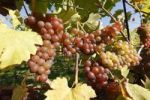 Thumbnail Muscatel, Muscat Blanc à Petits Grains, grapes on grapevine, Wachau valley, Waldviertel region, Lower Austria, Austria, Europe