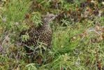 Thumbnail Female Spruce Grouse (Falcipennis canadensis), Banff National Park, Alberta, Canada