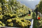 Thumbnail Grape harvest in Oberloiben, Wachau valley, Waldviertel region, Lower Austria, Austria, Europe
