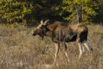 Thumbnail Moose (Alces alces), bull, Jasper National Park, Alberta, Canada