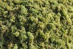 Thumbnail White grapes, vintage, Wachau, Waldviertel, Lower Austria, Austria, Europe