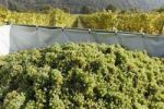 Thumbnail White grapes, vintage at Willendorf, Wachau, Waldviertel, Lower Austria, Austria, Europe