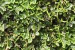 Thumbnail moss - Madeira