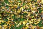 Thumbnail cherrytree-leaves in autumn lieing on the grass Prunus avium