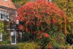 Thumbnail stags horn sumach in autumn Rhus typhina Rhus hirta