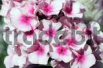 Thumbnail garden phlox - summer phlox Phlox paniculata