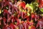 Thumbnail boston ivy - japanese creeper - japanese ivy Parthenocissus tricuspidata