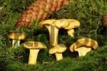 Thumbnail chantarelle - chanterelle Cantharellus cibarius