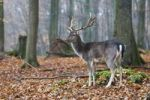 Thumbnail Fallow Deer (Dama dama), buck
