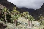 Thumbnail Canary Island date palms (Phoenix canariensis), Barranco de Guarimiar near Alajeró, La Gomera, Canary Islands, Spain, Europe