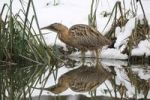 Thumbnail Eurasian Bittern or Great Bittern (Botaurus stellaris) in the snow, with reflection in the water