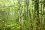 Thumbnail Deciduous forest in fog, Arnstein, Lower Austria, Austria, Europe
