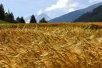 Thumbnail Golden yellow ears of barley in a field in the Alps on a sunny summer day, Orsi, Valais, Switzerland, Europe