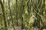 Thumbnail Mossy tree trunks, laurel forest, Garajonay National Park, UNESCO World Heritage Site, La Gomera, Canary Islands, Spain, Europe
