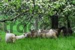Thumbnail Sheps on a meadow with flowering fruit trees