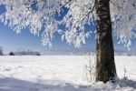 Thumbnail Winter scenery with a birch tree near Benediktbeuern, Upper Bavaria, Germany, Europe