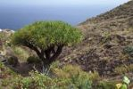 Thumbnail Canary Islands dragon tree (Dracaena draco) on Playa de Benijo beach, Tenerife island, Canary Islands, Spain, Europe