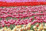 Thumbnail Tulip field, Sakura, Chiba, Japan, Asia