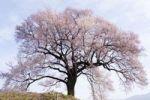 Thumbnail Cherry tree in blossom, Nirasaki, Yamanashi, Japan, Asia