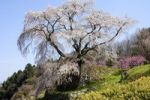 Thumbnail Sakura cheery tree in blossom, Uda, Nara, Japan, Asia