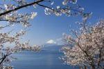 Thumbnail Cherry blossom, Mount Fuji, Fujiyama at back, Japan, Asia
