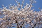 Thumbnail Yoshino Cherry (Prunus × yedoensis) in blossom, Japan, Asia