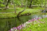 Thumbnail Japanese Primroses or Japanese Cowslips (Primula japonica), river, Nikko, Tochigi, Japan, Asia