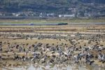 Thumbnail Flock of Cranes (Gruidae), Japan, Asia