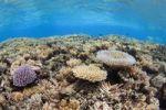 Thumbnail Coral reef, Chuuk island, Pacific Ocean, Micronesia