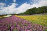 Thumbnail Flower field, Furano, Hokkaido, Japan, Asia