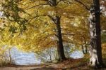 Thumbnail Autumnal beech trees on Lake Starnberger See at Leoni, Fuenfseenland area, Upper Bavaria, Bavaria, Germany, Europe