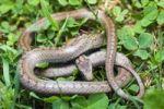 Thumbnail Smooth snake (Coronella austriaca, Oligodon semicinctus, Simotes semicinctus)